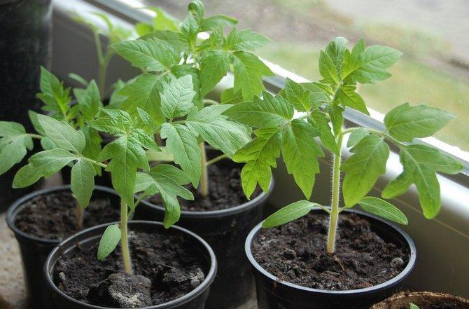 Подготовка семян томатов к посадке на рассаду