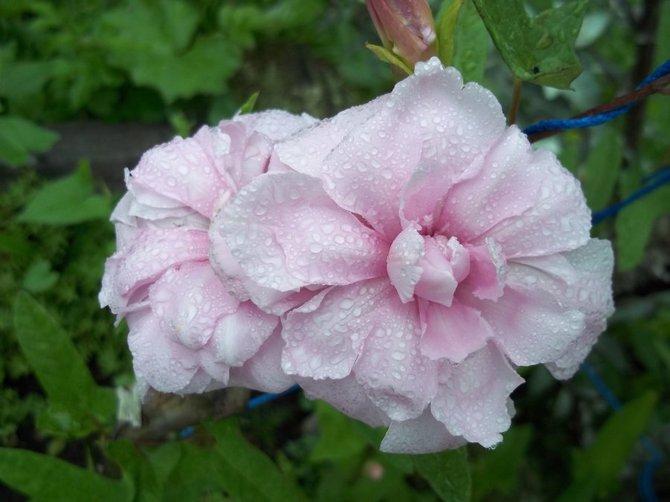 Уход за сибирской розой: советы и рекомендации