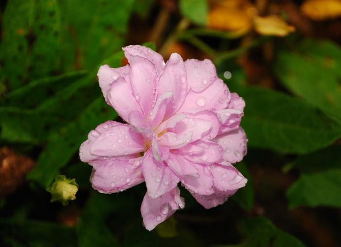 Калистегия махровая. Сибирские розы. Выращивание и уход
