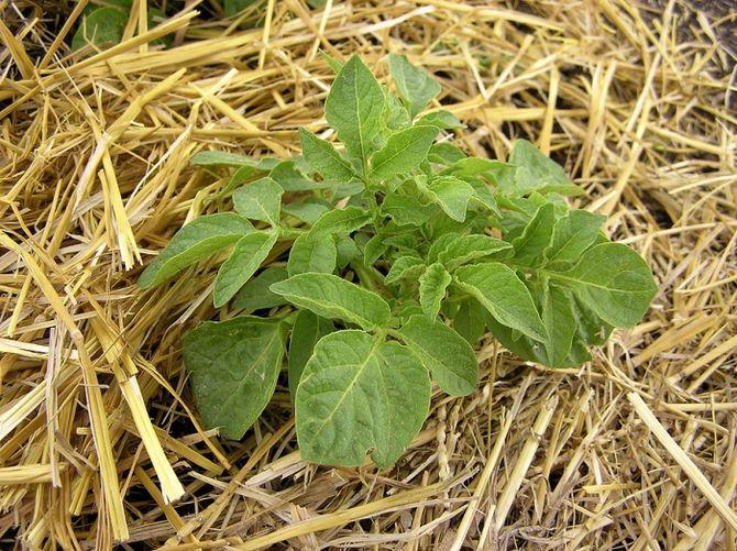 Солома защищает картошку от разных заболеваний и предупреждает рост сорняков