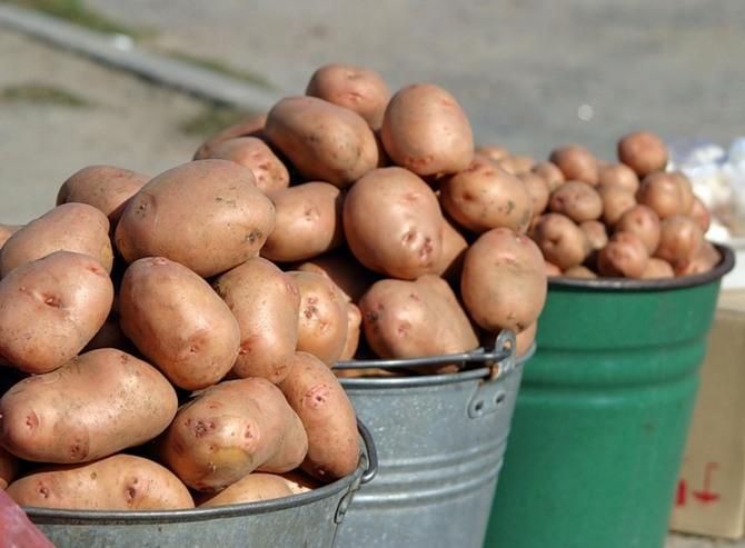 величина картошки влияет на срок ее всхода
