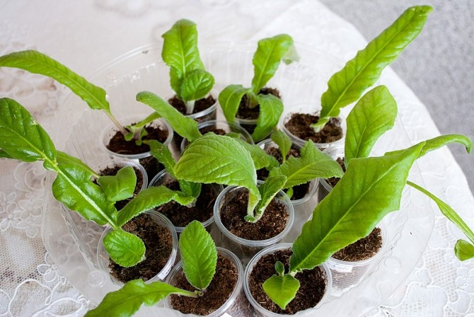 Наиболее надежные способами размножения растения являются черенкование и деление куста