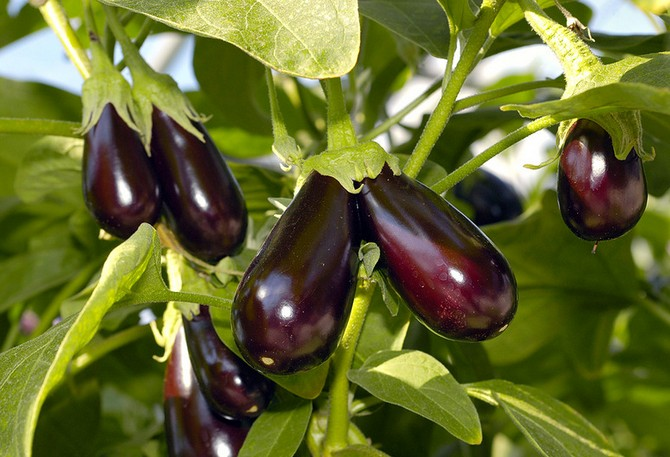 Секреты выращивания баклажанов в открытом грунте: советы новичкам