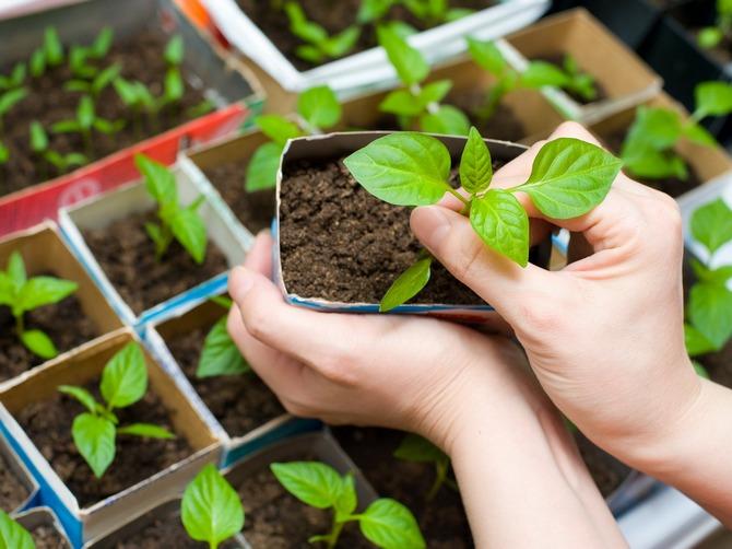 Пересаживать в открытую почву можно только при условии использования метода «перевалки»