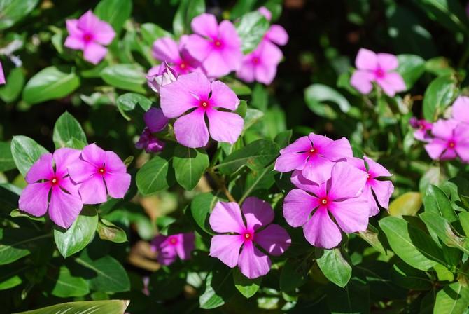 Растение покрывается цветками в середине мая
