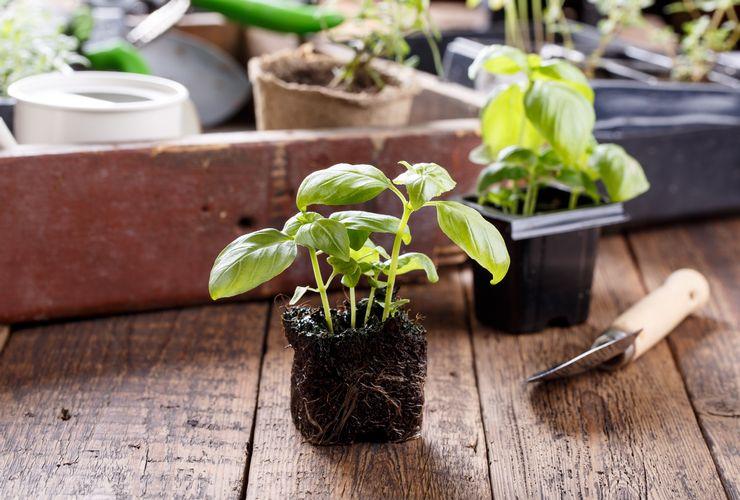 Способы выращивания базилика