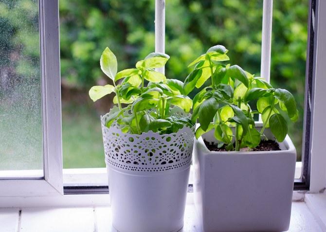 Как посадить базилик в горшок