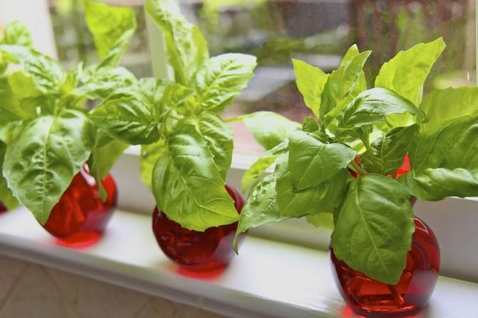 3 способа выращивания базилика в горшках