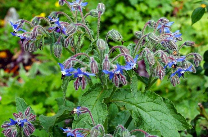 Бораго – это необычное растение, листья которого имеют вкус и запах свежего огурца