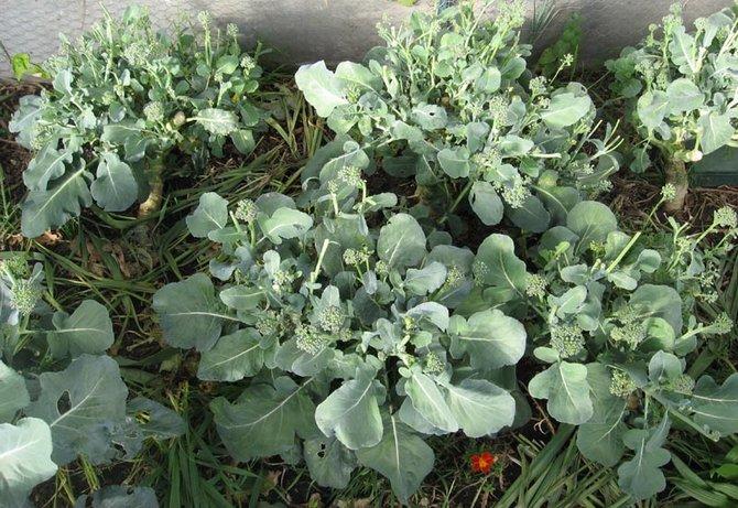 Полив, уход и подкормка капусты брокколи