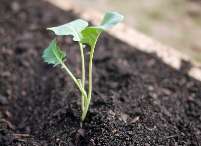 Когда юные растения выпустят пятый и шестой настоящие листики, брокколи можно переносить на открытую почву