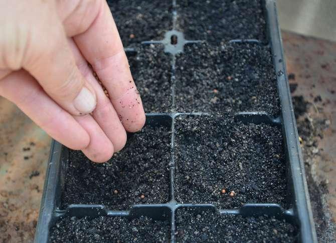 Выращивание рассады брокколи и высадка в открытый грунт
