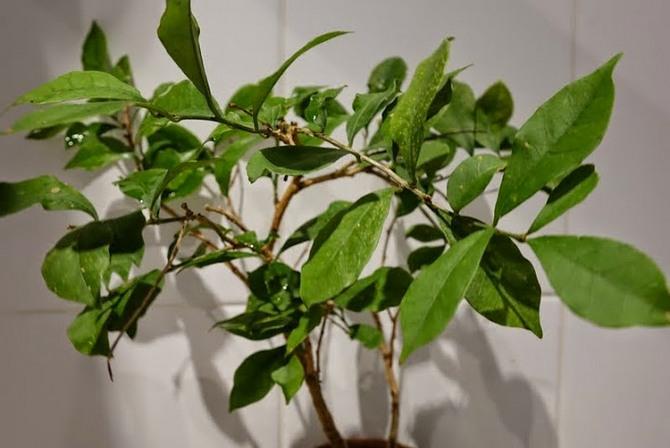 Для домашнего выращивания селекционеры создали единственный вид — брунфельсию малоцветковую