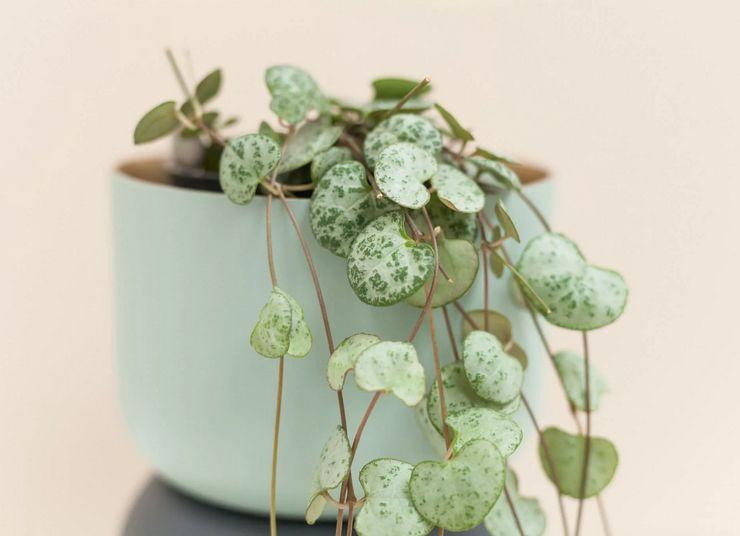 Растение церопегия