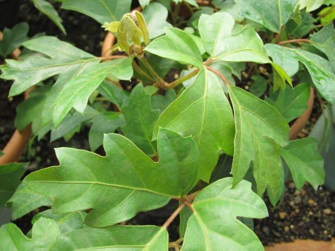 Опытные цветоводы рекомендуют опрыскивать это растение зимой два раза в сутки