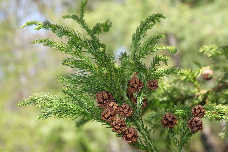 Растение криптомерия