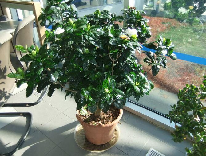 В период активного роста и развития растения поливать его нужно обильно