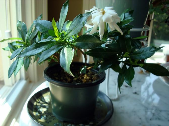 Гардения: уход и выращивание в домашних условиях