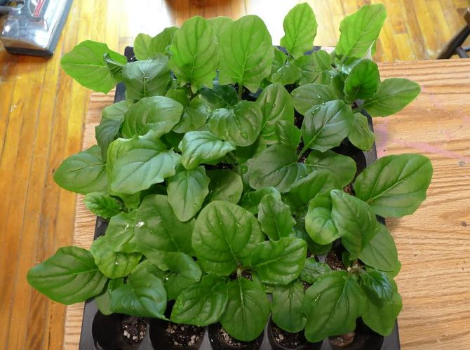 Размножается гербера тремя способами: семенами, разделением куста на отростки и черенками