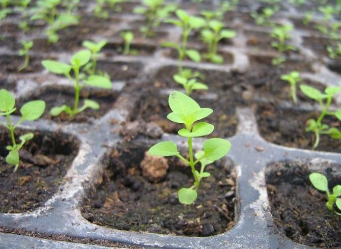 Правильный подбор земляного субстрата для выращивания рассады – одно из главных условий получения хорошего урожая