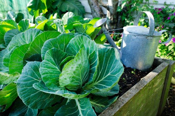 Советы огородникам: как вырастить кукурузу на даче и получить