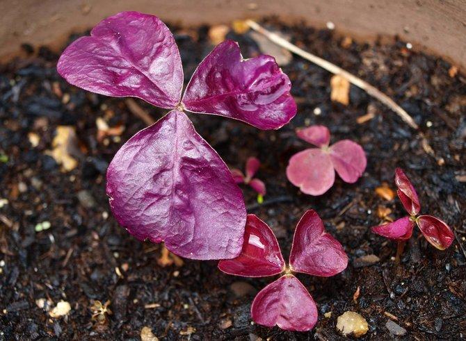 Размножается кислица разными способами – семенами, луковицами и черенками.