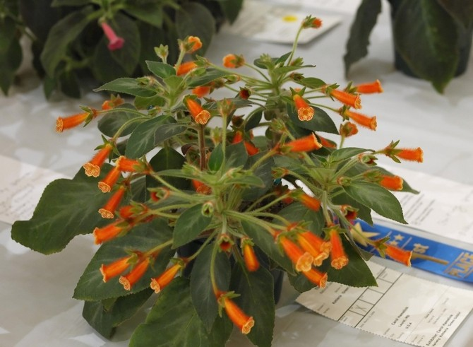Колерия нуждается в постоянной подкормке минеральными удобрениями для цветущих растений