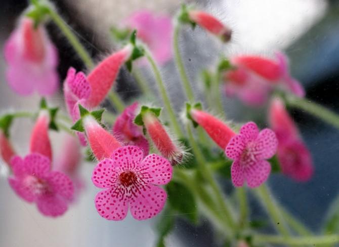 Колерия нуждается в умеренном поливе в период интенсивного роста и обильного цветения