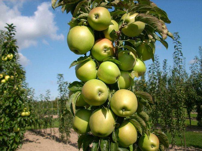 Выращивание колоновидной яблони: секреты урожая