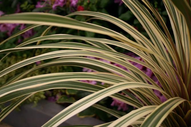 Описание растения кордилина