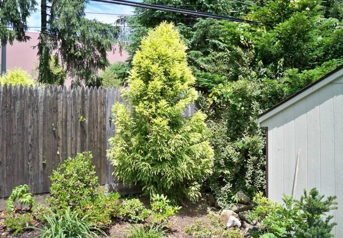 Садовые формы криптомерии