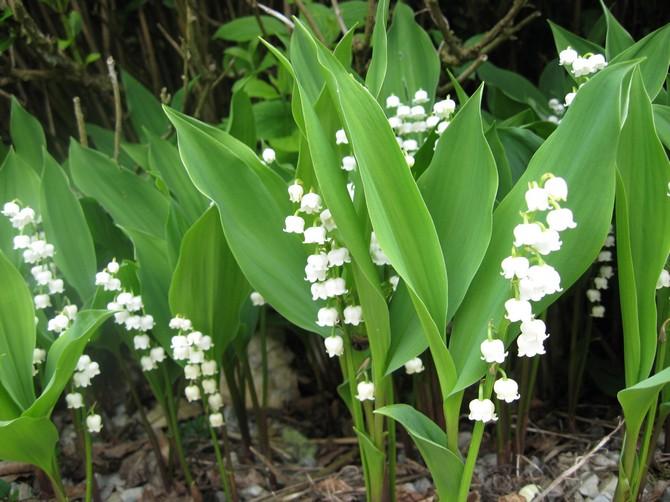 Цветок ландыш: посадка, уход и выращивание