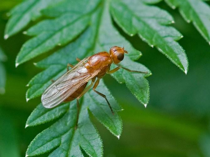 Большую опасность для моркови представляют морковная муха и морковная моль