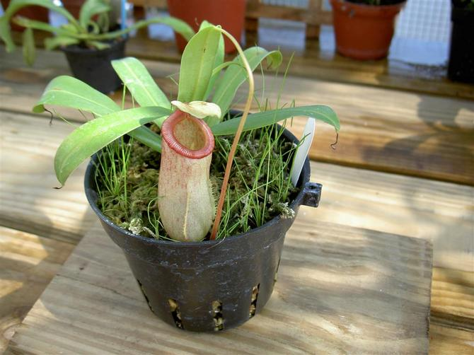 Непентес (мухоловка, кувшиночник). Выращивание и уход в домашних условиях. Описание и фото