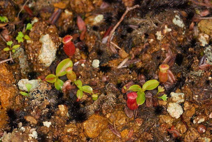 Выращивание непентеса из семян