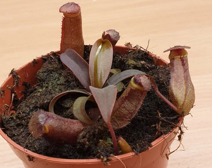Почва для выращивания непентеса