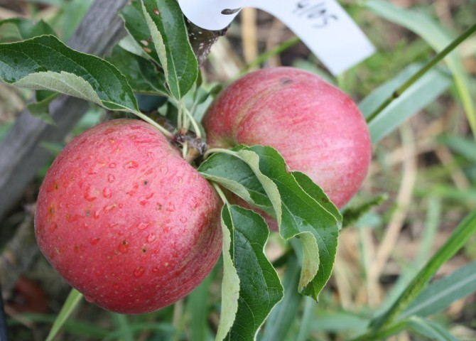 Обрезка и формирование колоновидной яблони