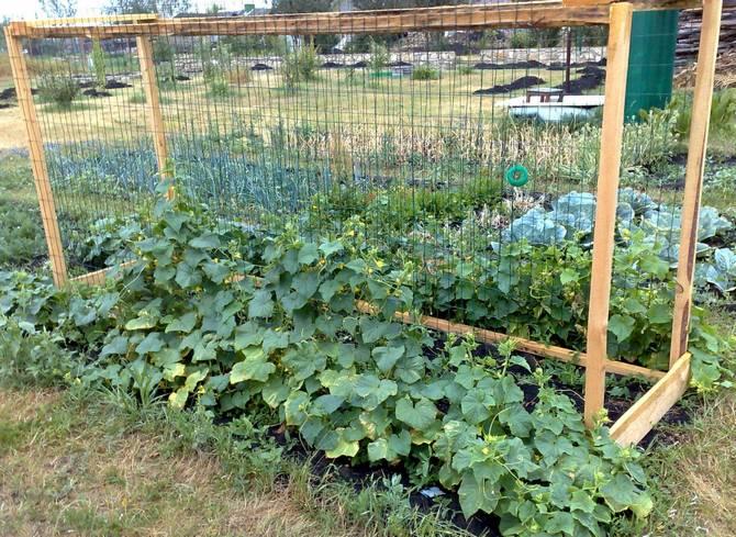 Выращивание огурцов на шпалере