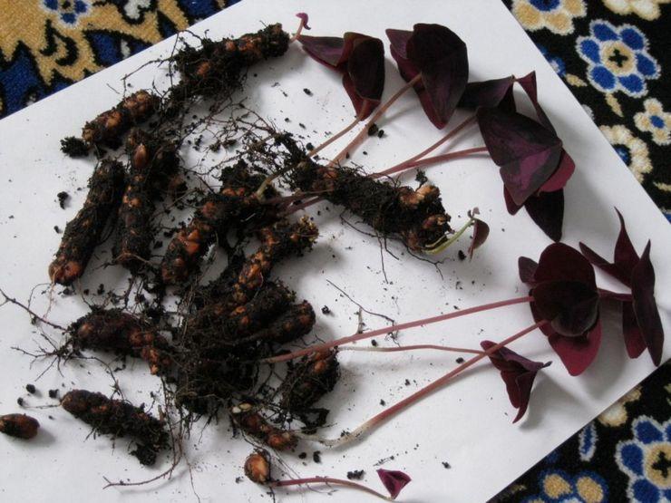 Размножение кислицы луковицами