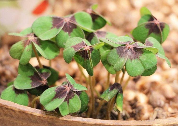 Выращивание кислицы из семян