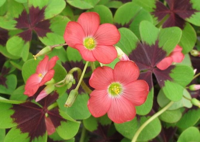 Кислица – это комнатное растение, которому требуется регулярный и умеренный полив