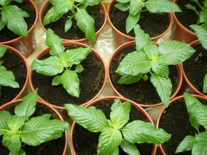 Для открытого пространства пентас лучше разводить семенами (через рассаду)