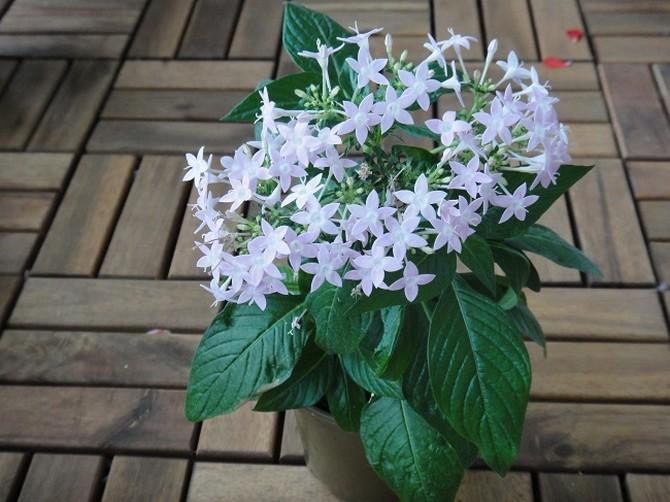 пентас цветок фото
