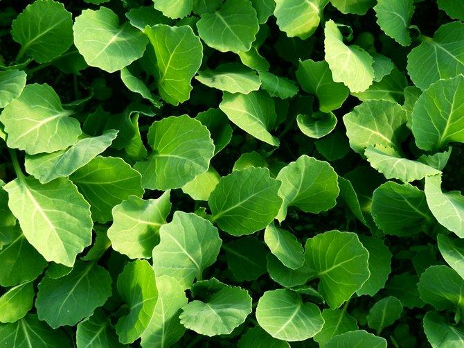 Уход за рассадой капусты: полив, подкормки, закаливание