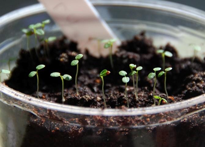 Семена земляники можно высевать в любом месяце, начиная с февраля по апрель