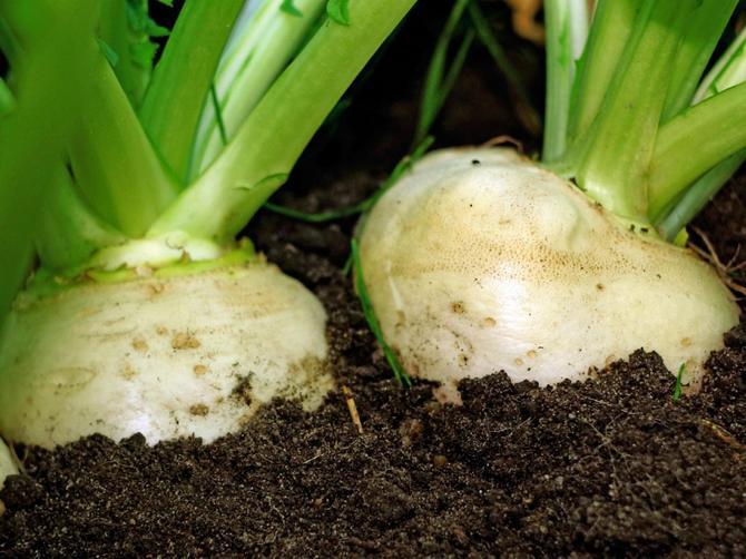 сочные и большие корнеплоды растут только там, где почва рыхлая