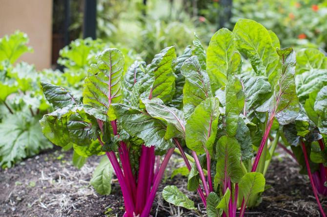 Ревень – это универсальное растение, из которого можно приготовить супы, салаты, варенье и различные десерты
