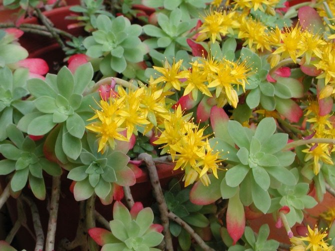 Данное растение является суккулентом, поэтому обильный полив противопоказан