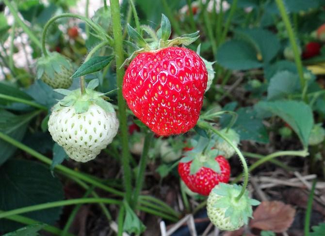 чтобы клубника давала урожай целое лето, необходимо выбрать не меньше 5-6 различных сортов клубники