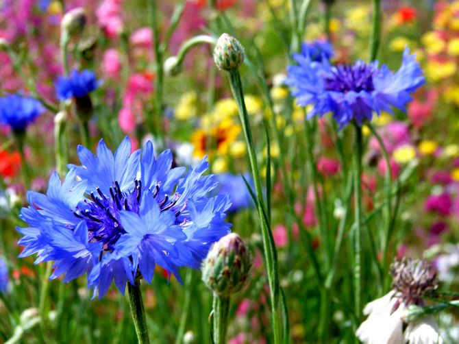 Василек садовый: посадка, уход и выращивание